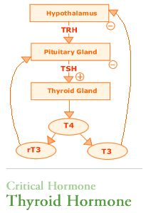 Bromides are a common endocrine disruptor because bromide is also a thyroid hormone pathway t4t3tsh chart publicscrutiny Images
