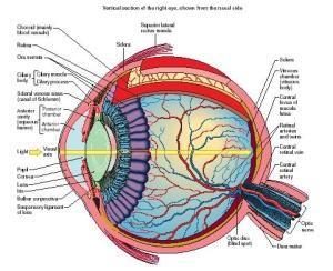 Human Eye Anatomy Diagram Eye Anatomy Eye Anatomy Diagram Human Eye