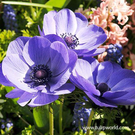 Mr Fokker Anemone In 2020 Bulb Flowers Flowers Perennials Anemone Flower