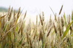 Arti Mimpi Semak Belukar Wheat Design Wheat Fields Cornfield