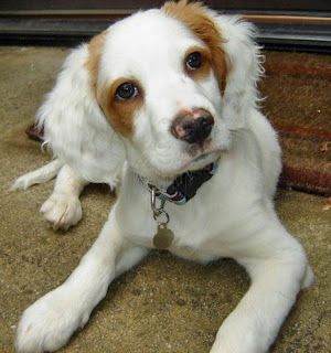 Brittany Puppy Pictures Brittany Spaniel Puppies Brittany Puppies Brittany Spaniel