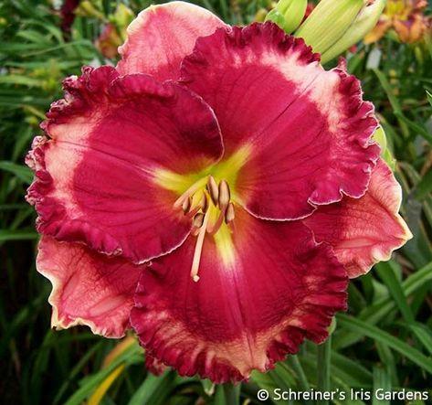 Giovanni Gabrieli Maryott Daylilies Day Lilies Daylilies Daylily Garden