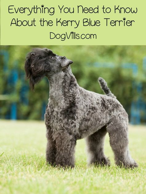 The Kerry Blue Terrier, also known as the Irish Blue Terrier is an active intelligent dog that makes an excellent pet for equally active families. If properly trained, they make excellent dogs in almost any avenue. Good news for people with allergies, the Kerry Blue Terrier is also a hypoallergenic dog breed.