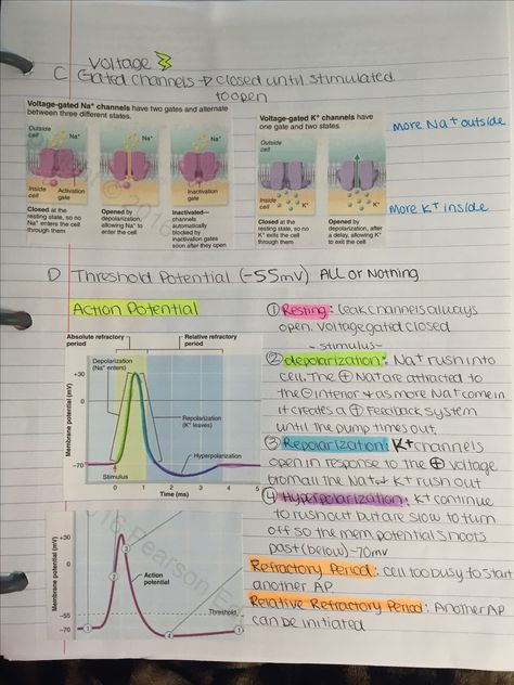membrane potential as time passes in an action potential ...