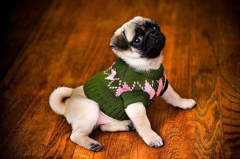fricking love pugs!!!