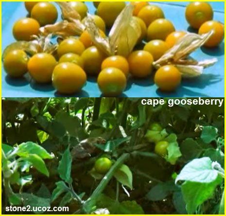 بقان او البقان شجر امريكي وجوزه هو جوز البقان Carya Illinoinensis قسم الفواكه النبات معلومان عامه معلوماتية Cape Gooseberry Physalis Gooseberry
