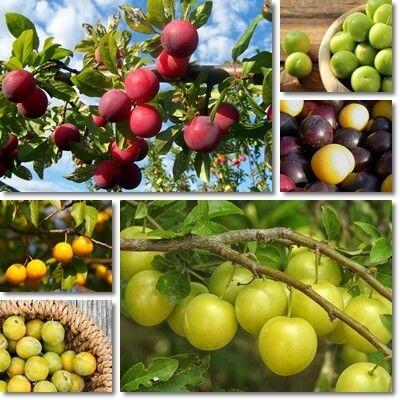 Properties And Benefits Of Cherry Plum Natureword Plum Fruit Plum Benefits Plum