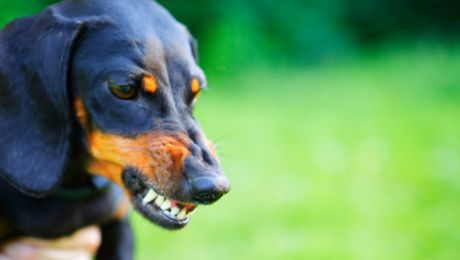 What Different Types Of Dog Growl Mean Purina Dog Growling