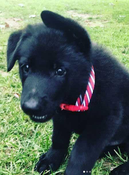 Black German Shepherd Puppy Puppies Dogs Puppy Doglove Cute