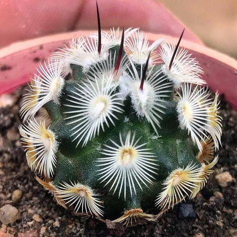Aloe Plicatillis Piante Piante Piante Grasse Rare E Piante Da