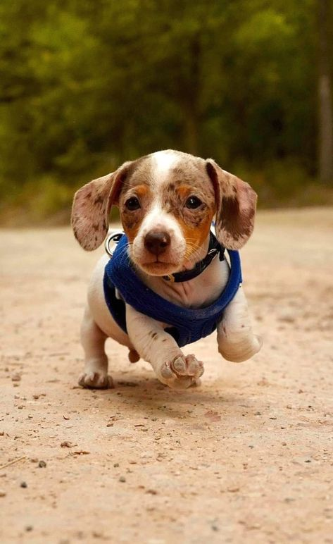 This is a list of cutest dogs which always attract people who love animal. Dachshund Bonus will introduce you a list of cutest dogs based on their appearance and personalities and guess where dachshunds are in the world. Visit our blog to read more! #dachshunds #dogs #puppies #cutedogs #doxie #wiener #hotdog Twitter @themop #Labrador #puppy #dog