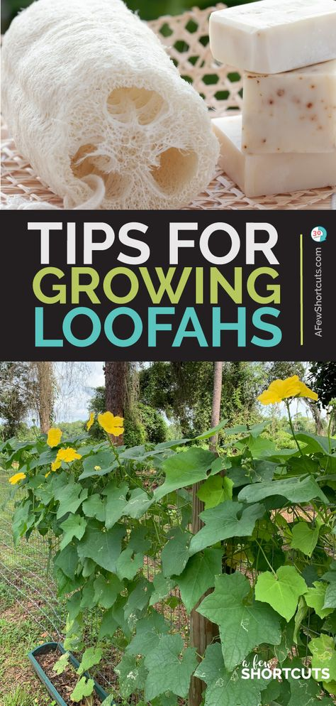 Tips for Growing Loofahs (Luffas) for Sponges