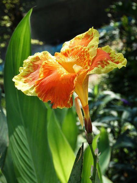 Paciorecznik Ogrodowy Kanna Odmiany Uprawa Sadzenie Fall Plants Spring Plants Peruvian Daffodil