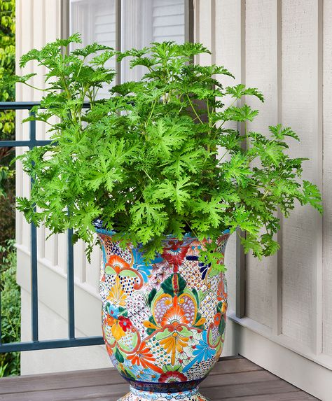 Mosquito Plant, also called citronella, is a tender perennial with strongly lemon-scented leaves. Plant in partial shade, 18 to 24 inches apart. Learn more.