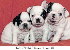 Free Art Print Of Puppies French Bulldog Bulldog Pics French