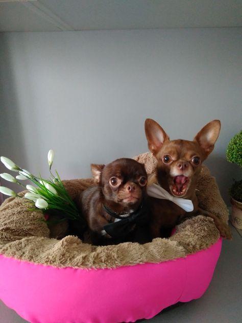 85 Ideas De Chihuahua De Bolsillo Perros Mascotas Chihuahua
