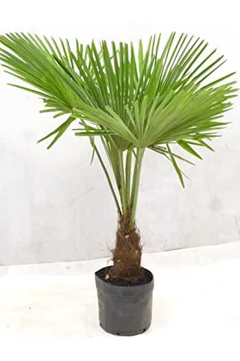 Amazon De Palme Winterhart In 2020 Winterharte Pflanzen Garten Winterharte Pflanzen Winterhart