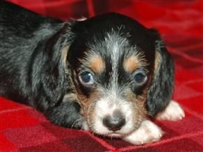 Wire Haired Dachshund Puppies For Sale Wire Haired Dachshund