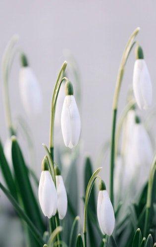 White Snowdrop Spring Hd Photo Hd Photo By Kristine Tanne Kristinetanne On Unsplash Bloom Blossom Flowers Photography White Flowers