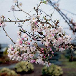 Ornamental Trees Acers Cherries Rowans More Ornamental Trees Cherry Blossom Tree Blossom Trees