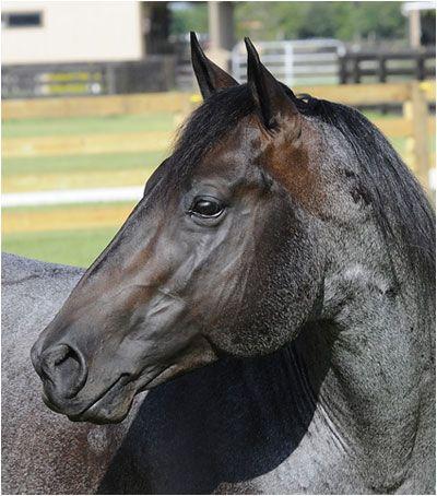 Playboy Boonsmal, blue roan Quarter Horse stallion.