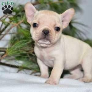 Bulldog French Jewel Puppy Sale Ohio For Injewel French