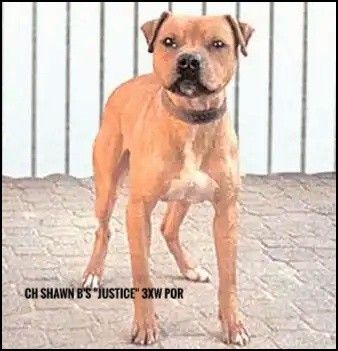 Pitbull Dog This Is 20 Years Of S T P S Very Best In One Dog Did It The Hard Way Winning Over First Rate Competition In 1 07 2 22 2 08 American Pitbull T