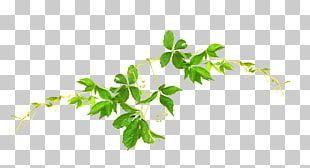 Green Tea Leaf Camellia Sinensis Herbal Tea Watercolor Leaf Png Clipart Camellia Clipart Green Herbal Leaf Png Si Watercolor Leaves Tea Leaves Green Tea