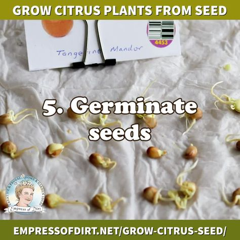 How to Germinate Orange, Lemon, and Other Citrus Seeds – Best Garden images in 2019