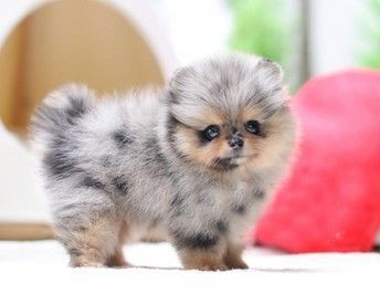 Beautifull Pomeranian Puppies For Sale Cream Male And Female Miniatures R5500 Brown Tan Female And Dual Colo Pomeranian Puppy For Sale Pomeranian Puppy Puppies