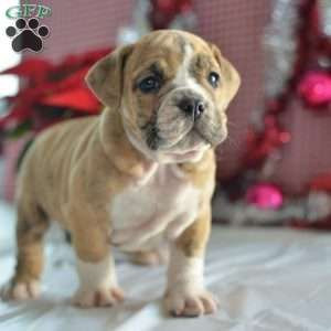 Emmi Is An Adoptable English Bulldog Searching For A Forever