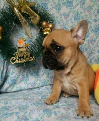 French Bulldog Puppy For Sale In Millville Ma Adn 57167 On