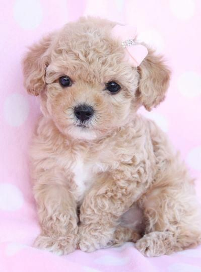 Image By Piinkmarilyn On I Animals Poodle Puppy Cute