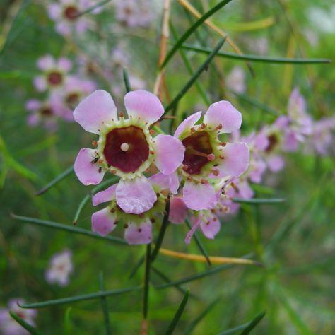 Hakige Chamelaucium Bluete rosa Chamelaucium uncinatum
