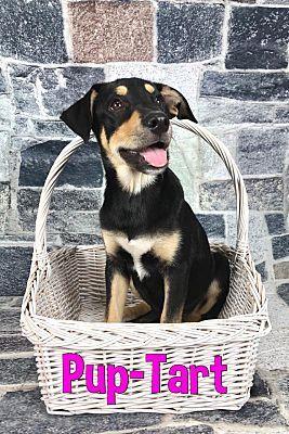 Joliet Il Rottweiler Meet Pup Tart A Dog For Adoption