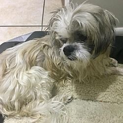 Palm City Florida Shih Tzu Meet Kenney Blind 14yo Shih Tzu