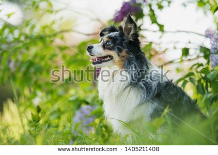 Stock Photo Miniatur Australian Shepherd Dog Sitting Under A Lilac Bush Dogs Dog Sitting Pet Dogs