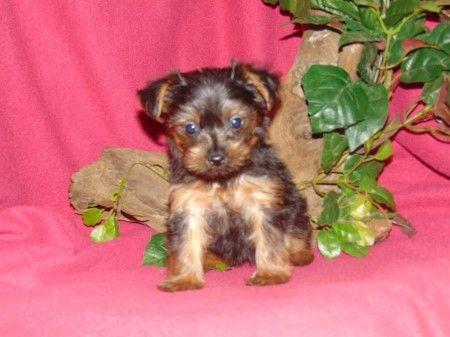 Yorkshire Terrier Puppy For Sale In Hartford Ar Adn 38351 On Puppyfinder Com Gender Female Age 6 Yorkshire Terrier Puppies Terrier Puppy Yorkshire Terrier