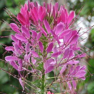 Rosliny Jednoroczne I Dwuletnie Do Ogrodu Katalog Roslin Zielony Ogrodek Plants