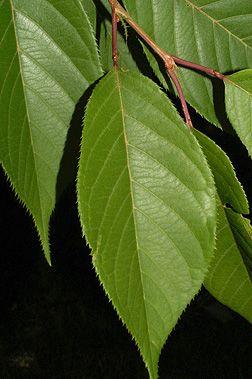 Prunus Serrulata Kwanzan Kwanzan Cherry Leaf Spring Plants Plant Leaves Cherry Leaf