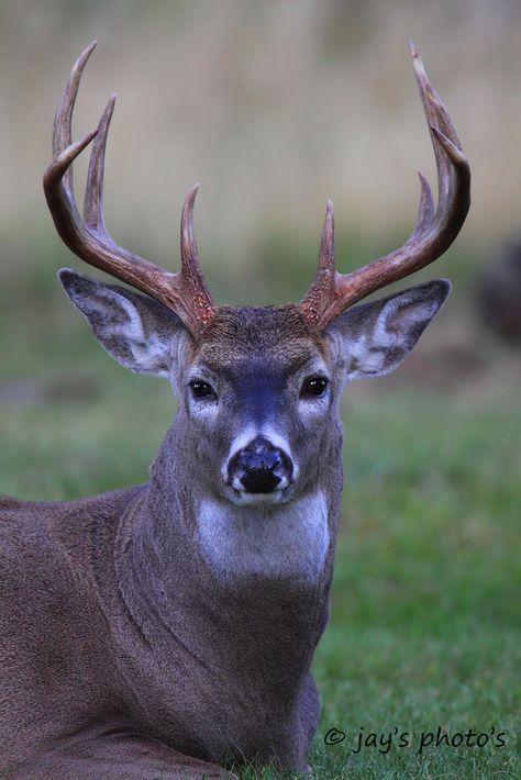 Whitetail Deer Pictures, Whitetail Deer Hunting, Deer Photos, Fallow Deer, Coyote Hunting, Whitetail Bucks, Pheasant Hunting, Archery Hunting, Deer Eyes