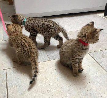 قطط للبيع في دبي Beautiful Kittens Looking For Loving Homes Kittens Are With Lovely Personalities And Are A Very Beautiful Kittens Savanna Kittens Kittens