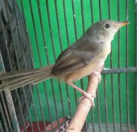 Burung Ciblek Burung Habitat Makanan Burung