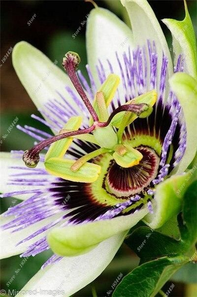 20 Stucke Seltene Blume Passiflora Obstbaum Passionsfruchte Hausgarten Anlagen De Frutas Rara In 2020 Passion Flower Amazing Flowers Beautiful Flowers