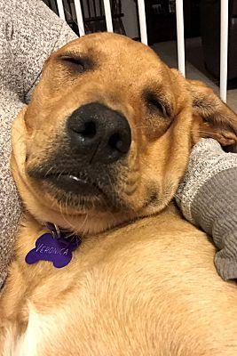 Schaumburg Il Labrador Retriever Meet Veronica A Pet For Adoption Labrador Retriever Labrador Pet Adoption