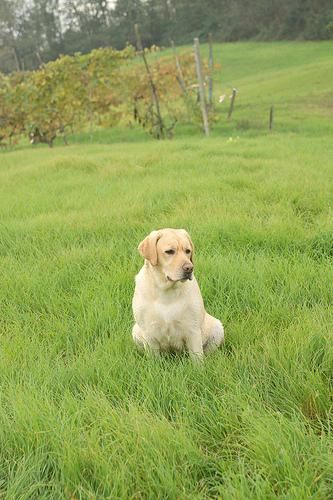 Labrador Exercise Been Looking For Labradorbreedersessex