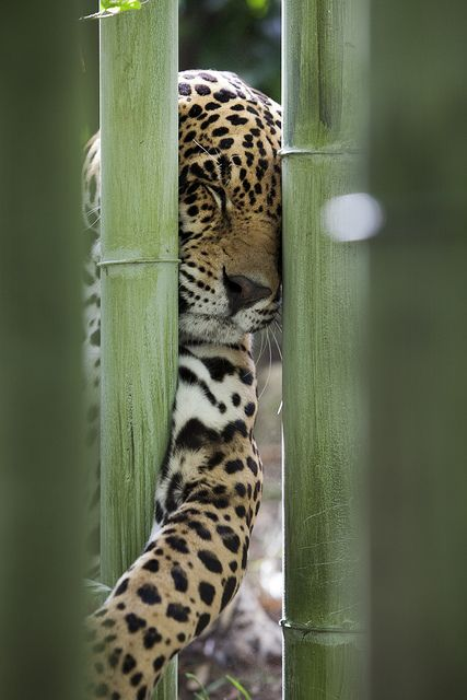 Wildlife photography animal Jaguar behind bamboo