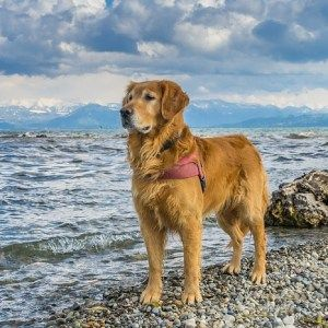 Top 10 Dog Breeds For Hiking Best Dog Breeds Hiking Dogs Top