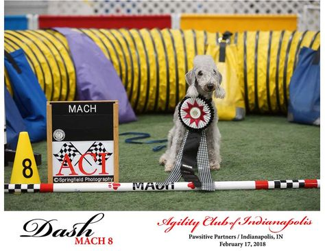 Mach 8 Aci Trial Feb 2048 Dog Show Photography Dog Show