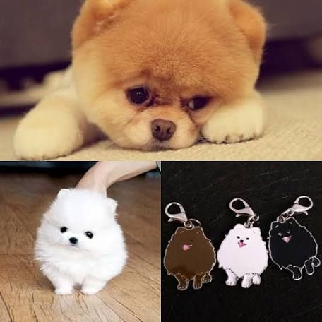 Pictures Of Small Designer Dogs